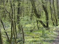 brouillard-vert-sous-bois-mars2017-chamaneetmarinette