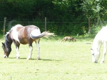 renard-et-les-chevaux-visite-goupil-pisseloup-mai2017-chamaneetmarinette