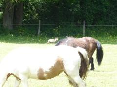 renard-et-les-chevaux2-visite-goupil-pisseloup-mai2017-chamaneetmarinette