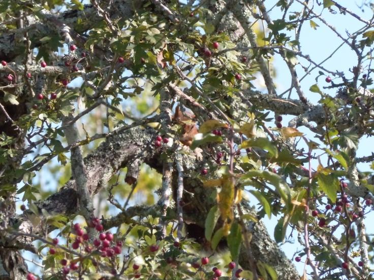 ecureuil-arbre-ordan-larroque-septembre2018-chamane-et-marinette