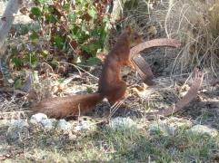 ecureuil-jardin-ordan-larroque-septembre2018-chamane-et-marinette