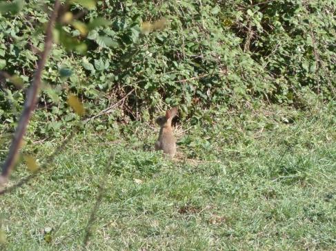 lapin-observation-ordan-larroque-septembre2018-chamane-et-marinette